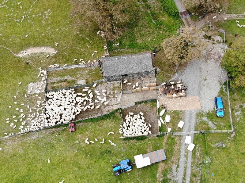 Sheep shearing at Benar